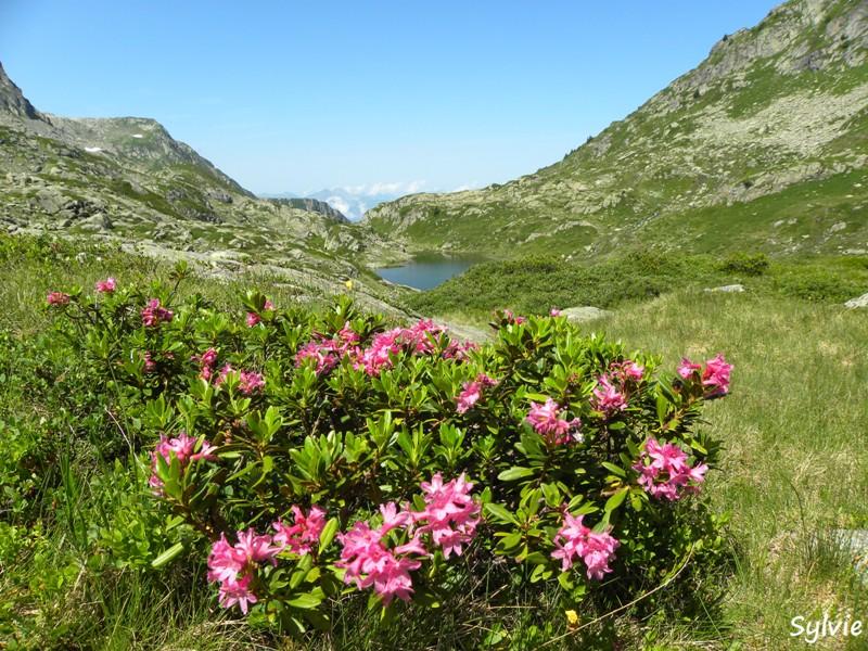 Les fleurs de nos montagnes - Fleurs de montagne alpes ...