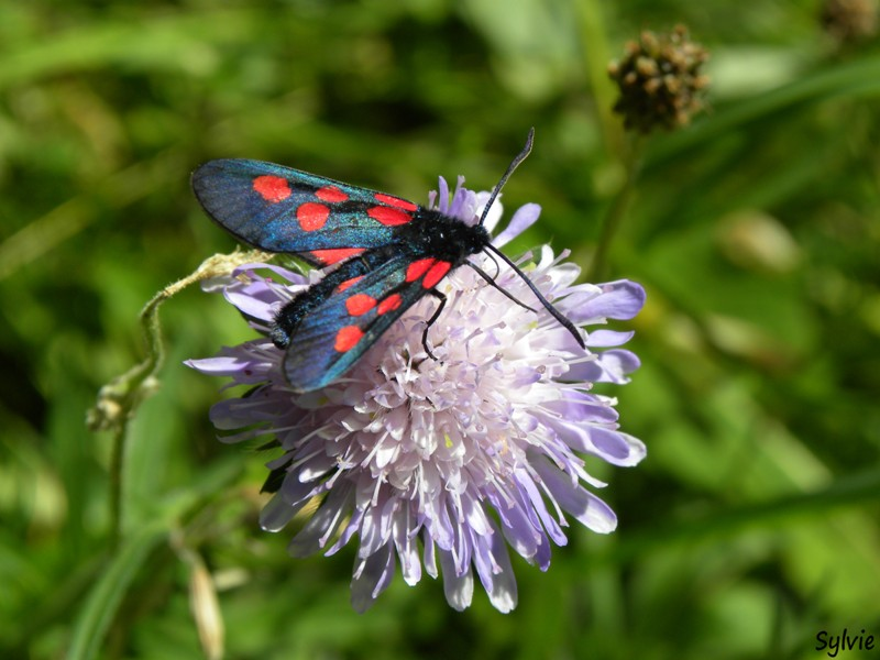 insecte-alpes